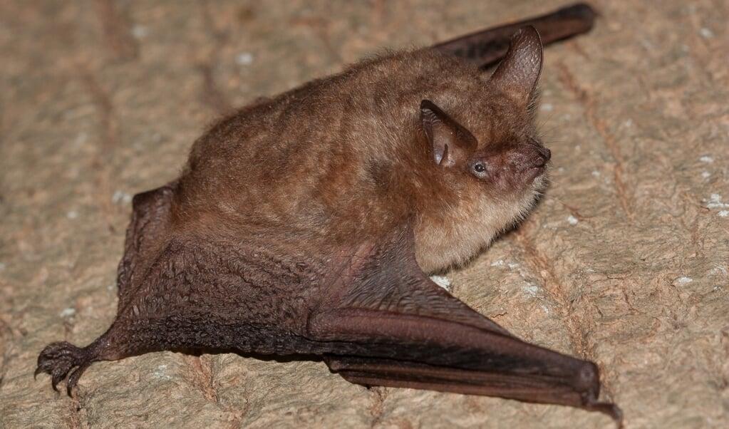 De ingekorven vleermuis, een soort die sterk in aantal is gegroeid.  (beeld Wesley Overman)