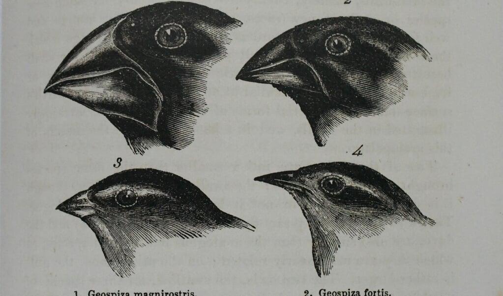 De Galapagosvinken van Charles Darwin.  (beeld Theo Haerkens)