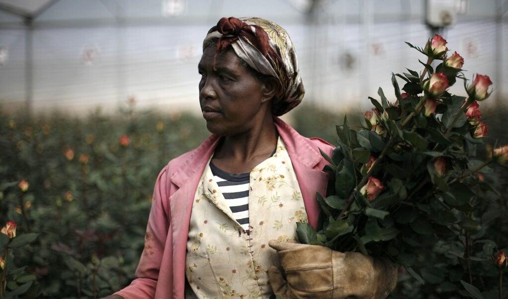 Een vrouw op een rozenkwekerij in Holeta, Ethiopië. In het boek Hoe handel ik eerlijk vat hoofdpersoon Johan het plan op om 'eerlijk' rozen te gaan kweken in Ethiopië.  (beeld afp / Jose Cendon)