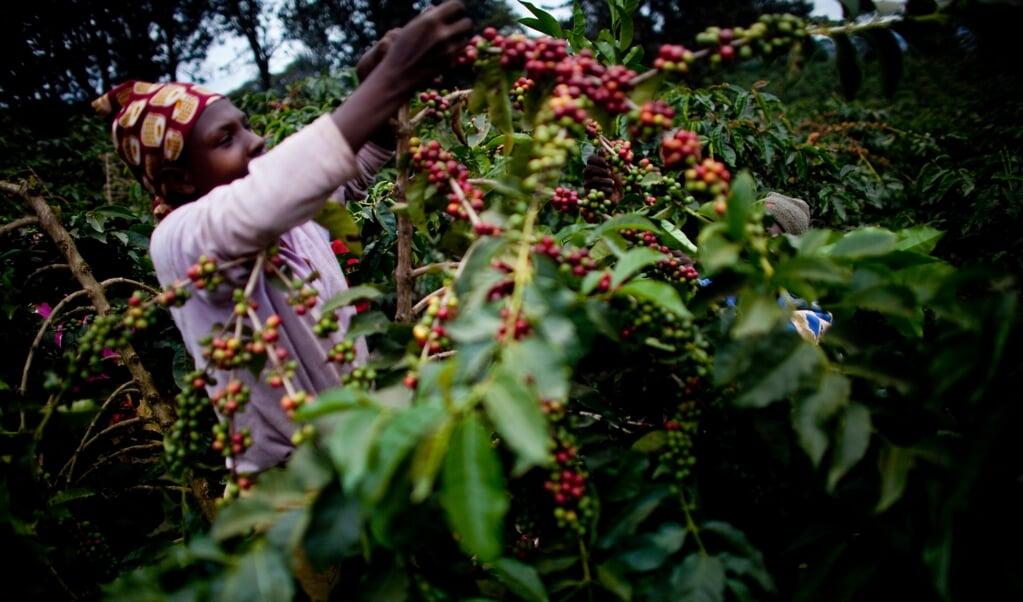 Koffieplantage in Tanzania. De Carbon Bank start met een bomenproject voor Afrikaanse boeren.  (beeld hollandse hoogte)