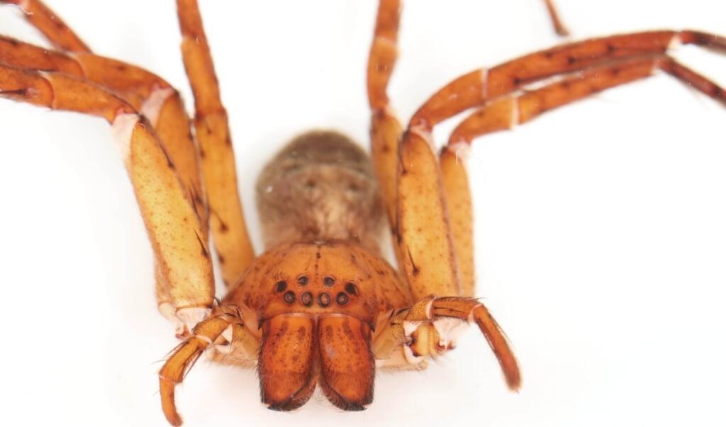 Een van de spinnen van het geslacht Thunberga   (beeld  L.T. Wasserthal)