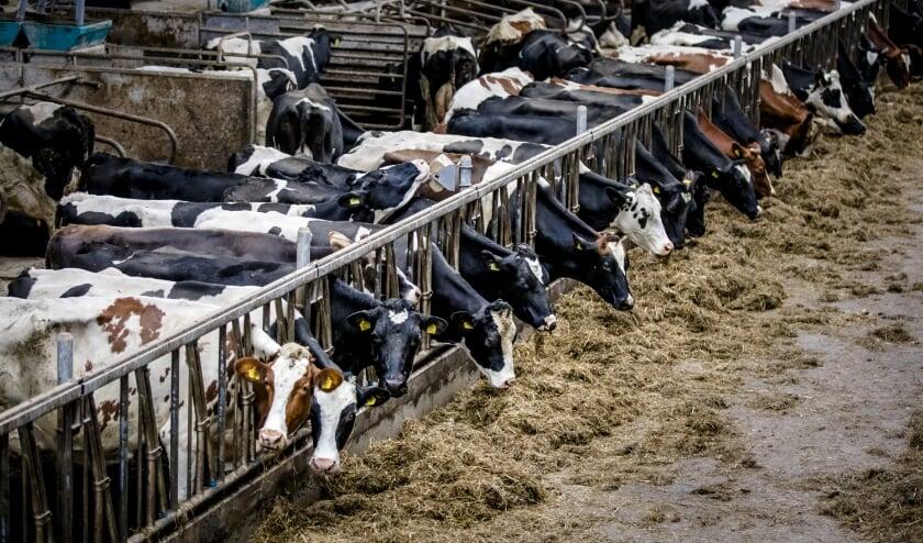 Koeien op stal in Reeuwijk.  (beeld de anp / Bart Maat)