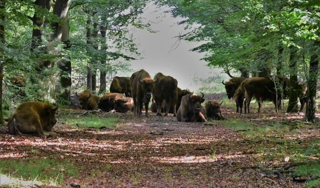 De wisent, het grootste landdier in Europa, is een bedreigde diersoort.   (beeld Theo Haerkens)