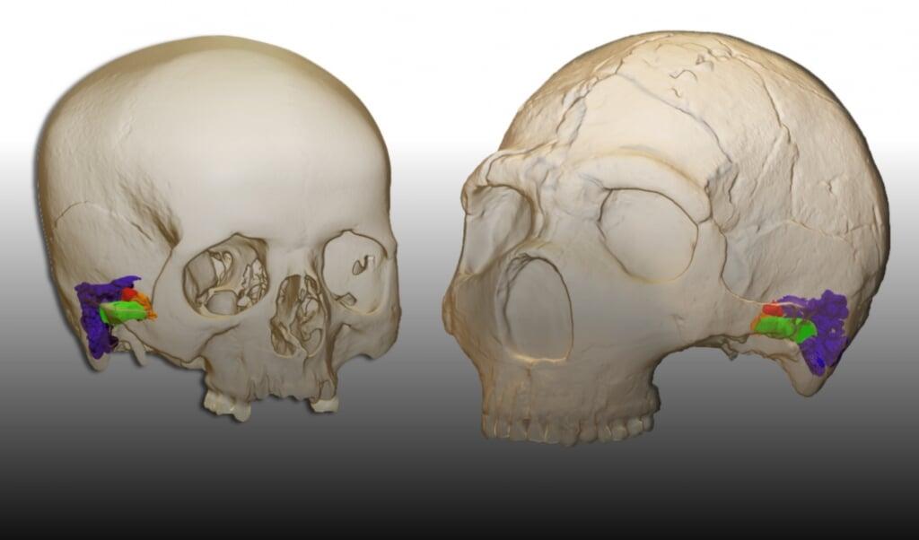 De gehoorgang van een Neanderthaler (links).  (beeld Mercedes Conde-Valverde)