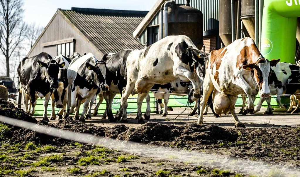 Het saneren van veehouderijen rond natuurgebieden kan volgens topambtenaren geen uitstel meer velen.   (beeld anp / Remko de Waal)