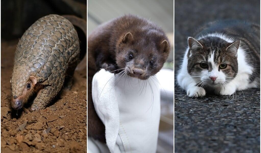 Het coronavirus is waarschijnlijk van dier naar mens overgedragen, concludeert de WHO. Enkel 'verdachten' onder de dieren zijn, van links naar rechts, de nerts, het schubdier en de kat.  (beeld afp, anp, epa)