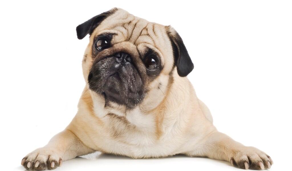 Honden worden jaloers als hun baasje veel aandacht geeft aan een andere hond, blijkt uit onderzoek.  (beeld istock)