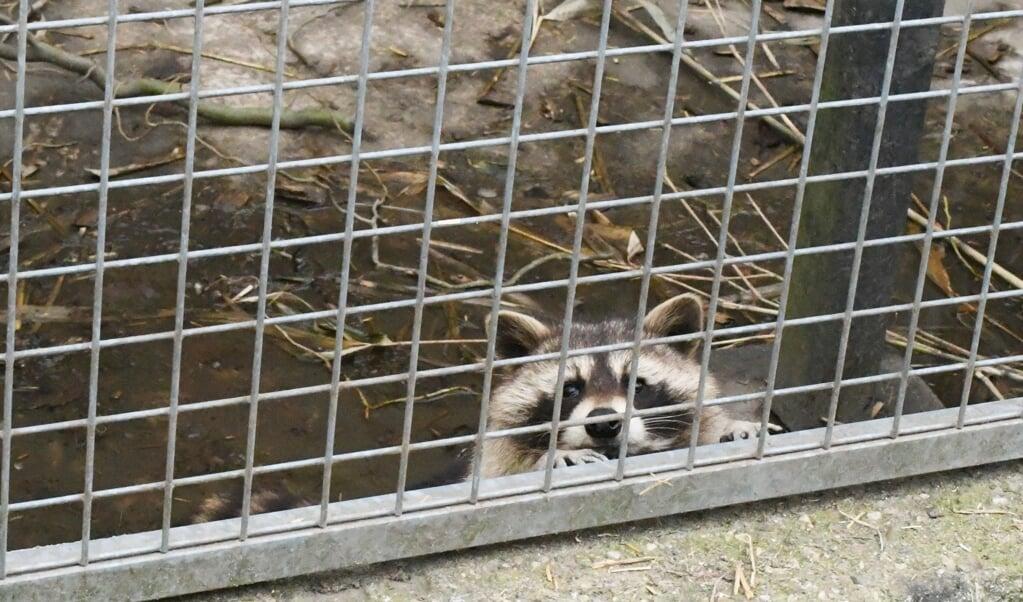 De wasbeer in Vught is ondergebracht bij Stichting AAP.  (beeld Theo Haerkens)