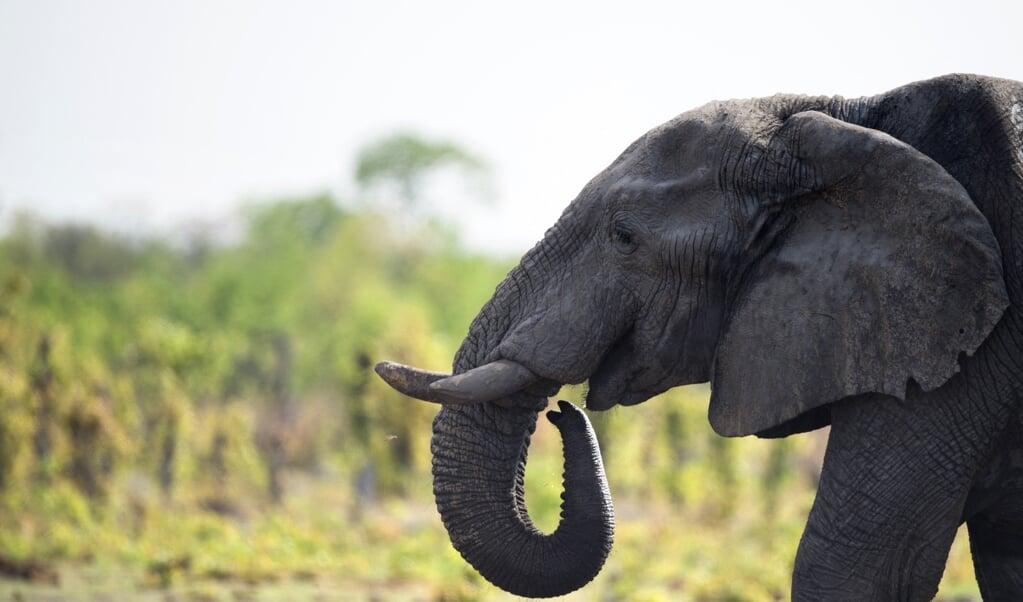 Olifantenjacht was in Zimbabwe tot nu toe in nationale parken verboden.  (beeld afp / Martin Bureau)