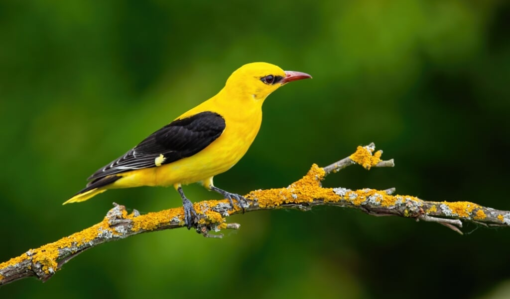 Male adult golden oriole, oriolus oriolus, on a moss covered twig in summer with blurred green background. Vibrant yellow bird sitting in treetop in nature. (Male adult golden oriole, oriolus oriolus, on a moss covered twig in summer with blurred gree  (beeld istock)
