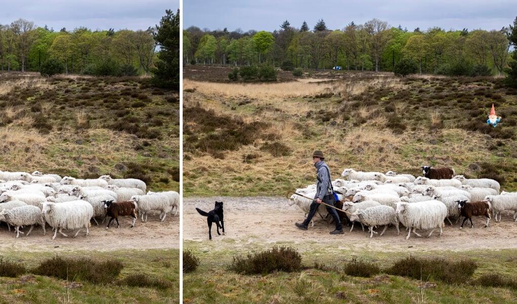 UGCHELEN - Schapen trekken op de hei van het Leesten naar Schenkenshul. De heideschapen helpen bij het beheer van de heide onder leiding van een herder. ANP VINCENT JANNINK  (beeld Vincent Jannink)