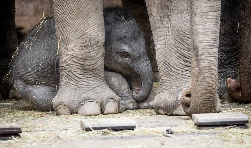 Het pasgeboren olifantenjong in de Rotterdamse dierentuin Blijdorp. De bevalling was live via een webcam te volgen.   (beeld anp / Sem van der Wal)