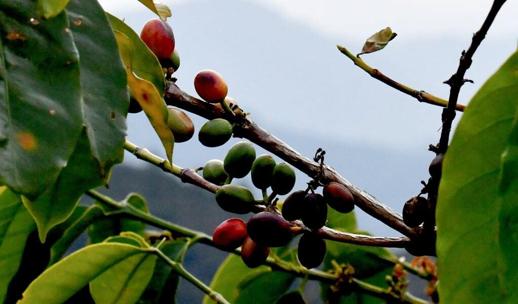 Koffieplantage op het Indonesische eiland Sulawesi.  (beeld afp)