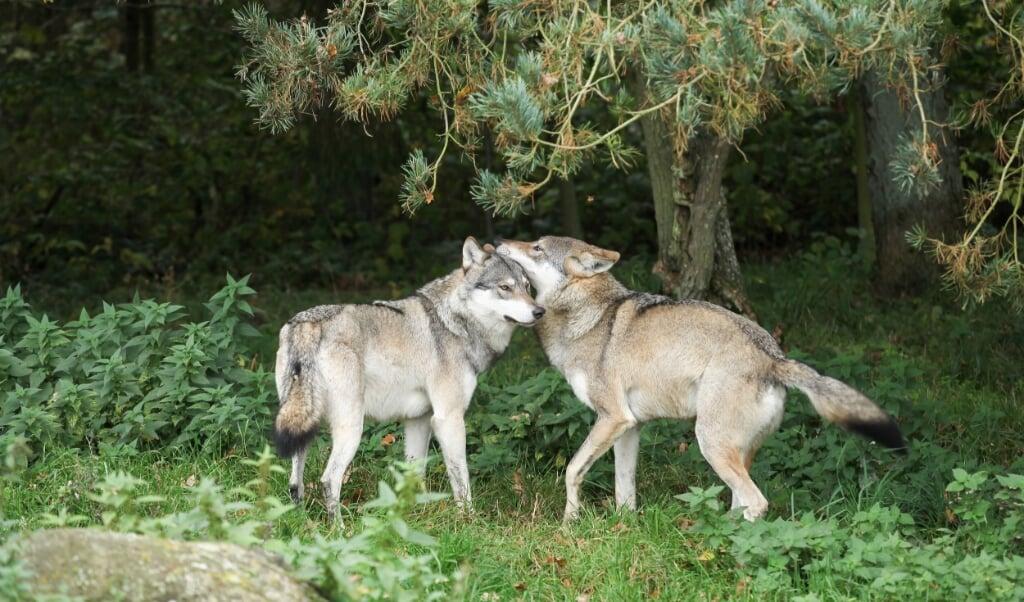 Een groot aantal soorten, waaronder wolven, paren regelmatig met een bloedverwant.  (beeld mostphotos / Eric Dufour)