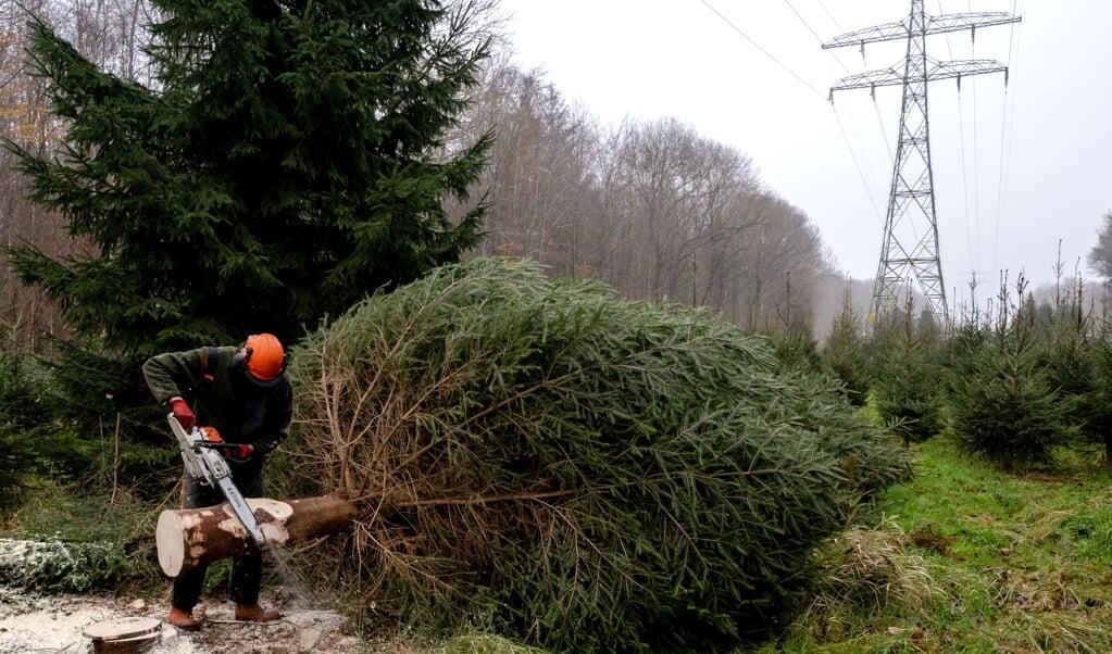 'Het is tijd voor een verhouding tussen mensen en bomen waarin mensen ten dienste staan van de het bos.' Op de foto: Een boswachter zaagt in december 2020 een grote kerstboom om voor in de hal van de Tweede Kamer. '  (beeld anp / Sander Koning)