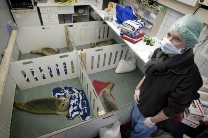 Zeehondencrèche overspoeld door zeehonden