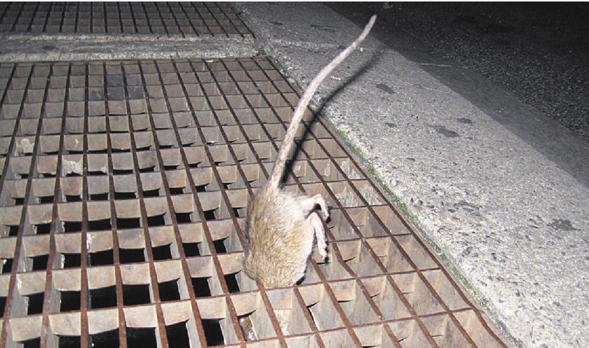 Ratten New York erg vies