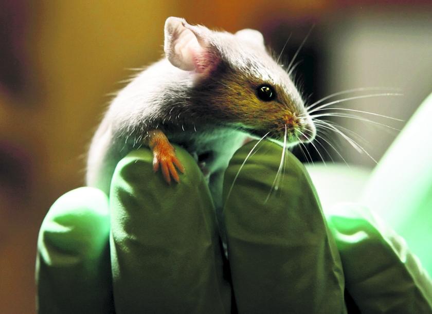 Medicijn afweersysteem slaat dierproef over  (ap / Robert F. Bukaty)
