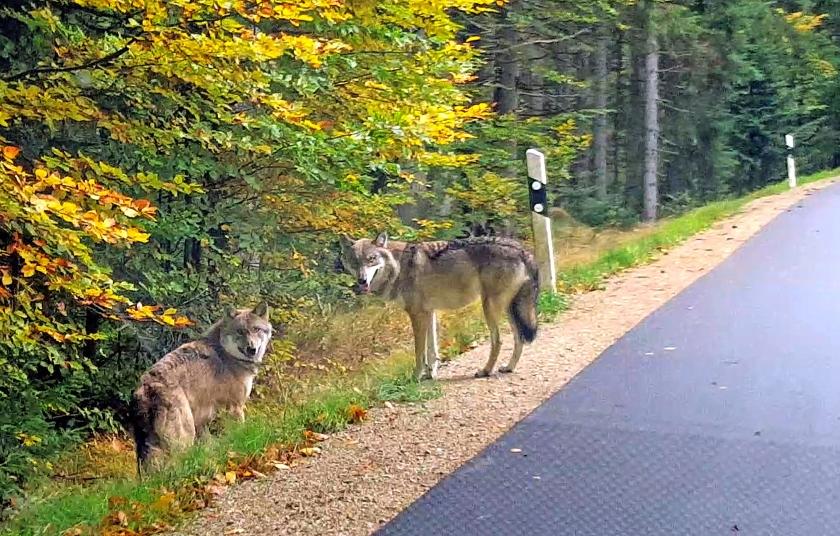 De wolf komt  naar Nederland