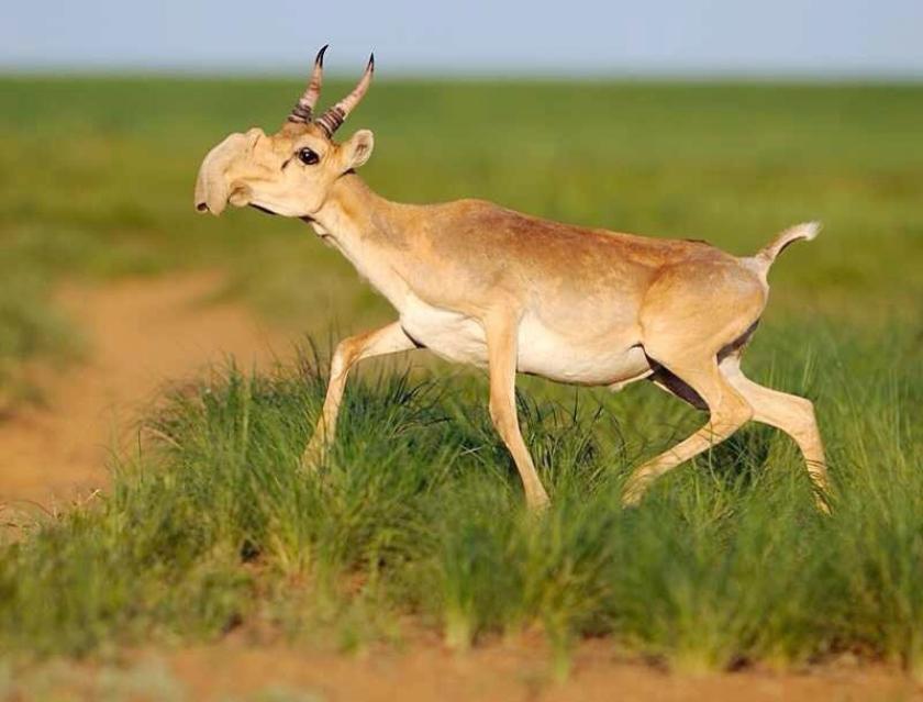 Een mogelijke oorzaak van massale sterfte onder saiga-antilopes is een bacterie die door grote temperatuurverschillen 'gemeen' is geworden.  (Wikipedia)
