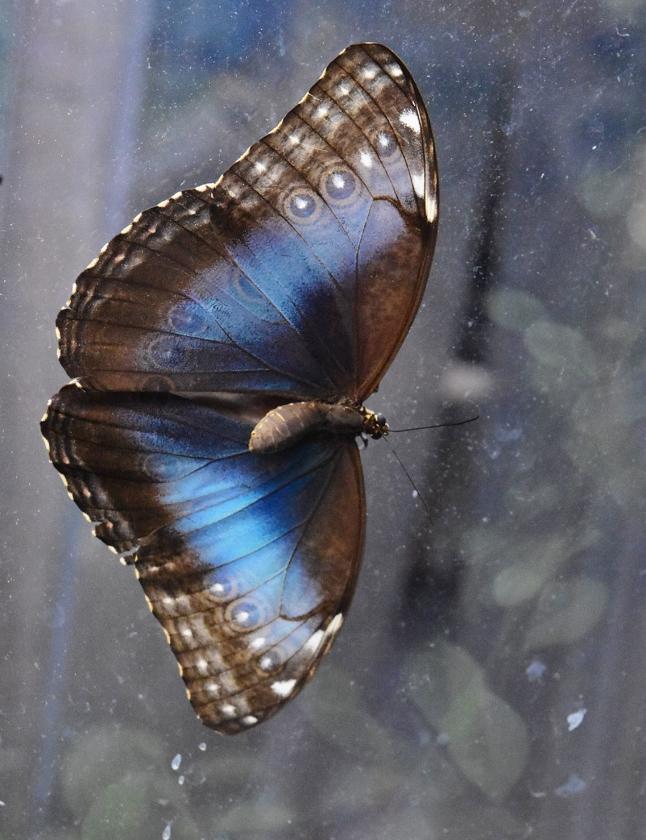 Blauwe morpho   (Theo Haerkens)