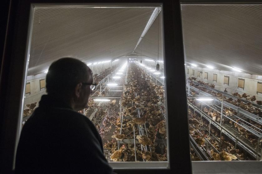 Pluimveehouder Egbert van der Veen bekijkt de kippen in zijn stal, die bij wijze van voorzorg verplicht waren opgehokt uit vrees voor vogelgriep.  (anp / Vincent Jannink)