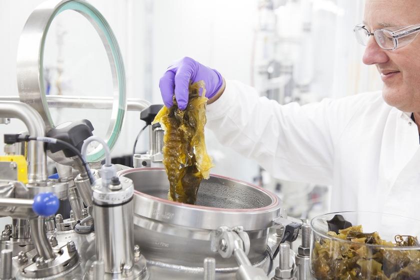 Wetenschappers willen zeewier omzetten in onder meer brandstoffen.  (ecn/tno / Agnes Kappert)