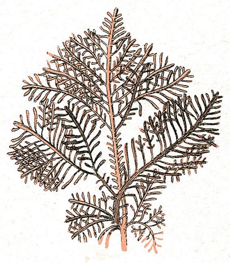 Labotaroria vrezen tekort aan geleermiddel uit zeewier   (nd)