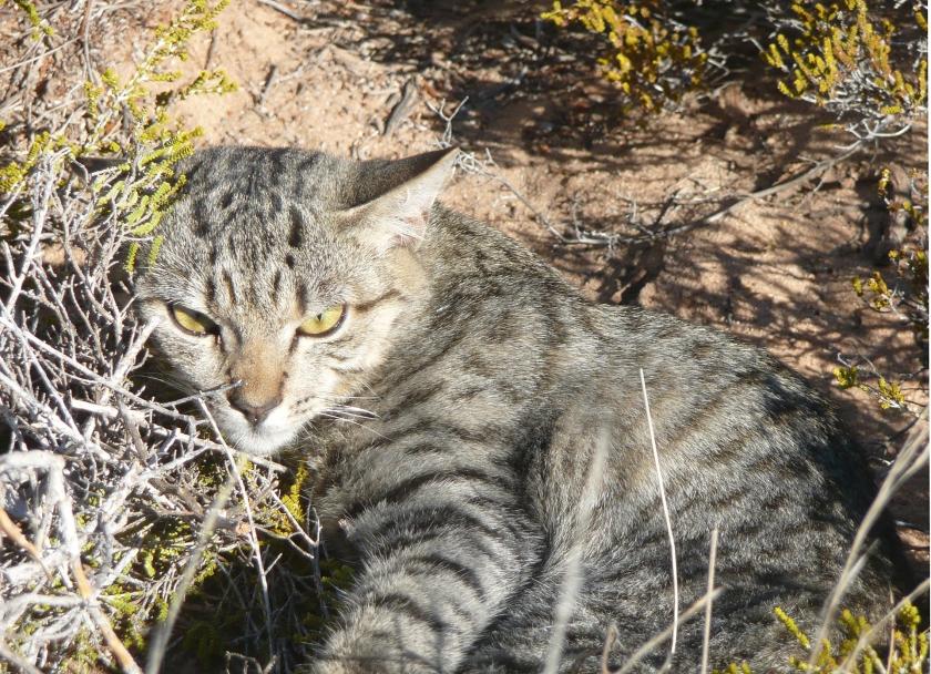 In een groot deel van Australië leven wilde katten.  Die zijn ooit op het continent geïntroduceerd, maar er zijn twee theorieën over hoe dat is gegaan  (Katrin Koch)