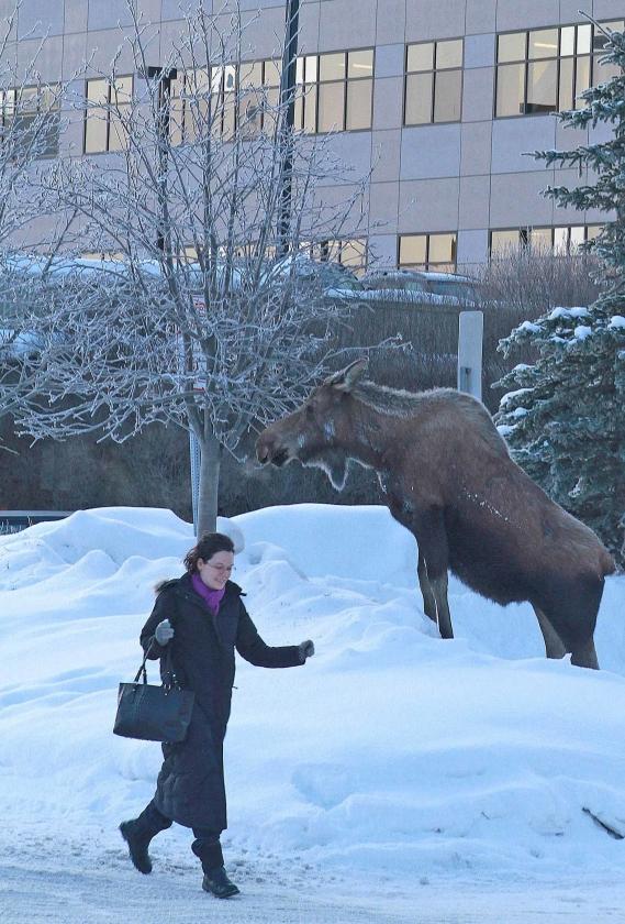 Een vrouw loopt langs een eland in de stad Anchorage. De meeste bewoners delen de leefruimte zonder gemor met de dieren.   (ap / Dan Jolingap / Dan Joling)