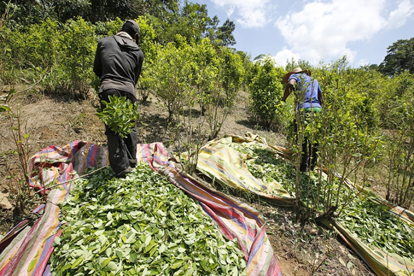 Oogst van cocabladeren in Colombia.  (ap / Fernando Vergara)