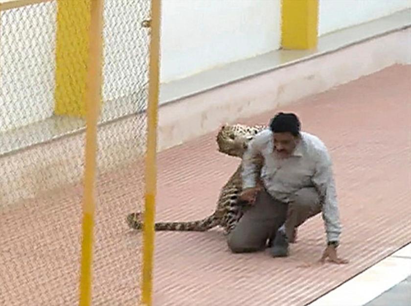 Een man wordt aangevallen door een luipaard bij een schoolgebouw in Bangalore.  (ap)