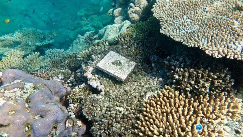 Terracotta-tegels, uitgezet bij de Australische kust om te zien hoeveel koraallarven zich afzetten.  (arc centre of excellence / Tory Chase)