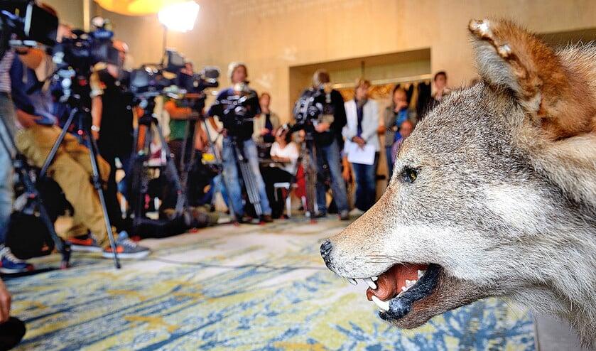 Een opgezette wolf in het bezoekerscentrum van Natuurmonumenten tijdens een persconferentie in 2013 over de wolf die dood werd aangetroffen bij Luttelgeest. Uit onderzoek is geconcludeerd dat het dood aangetroffen dier vrijwel zeker vanuit Oost-Tsjechie, Zuid-Polen of Slowakije naar Nederland is getrokken.  (anp / Lex van Lieshout)