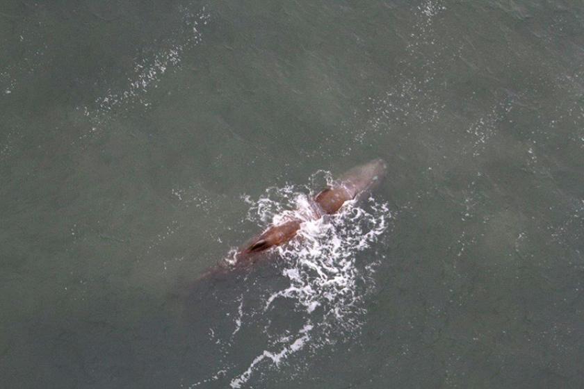 Ingezonden brief: Die potvis hoopte natuurlijk een andere potvis te treffen  (sos dolfijn)