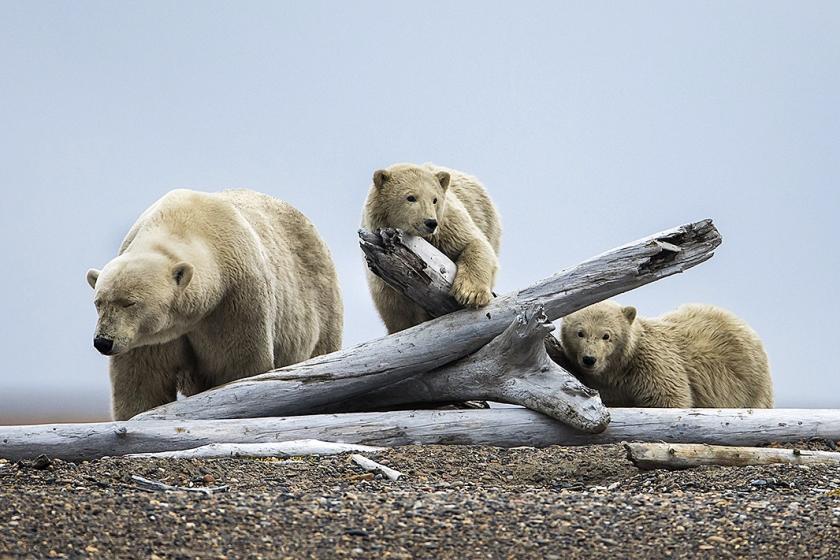 IJsberen bij het karkas van een walvis.  (epa / Jim Lo Scalzo)