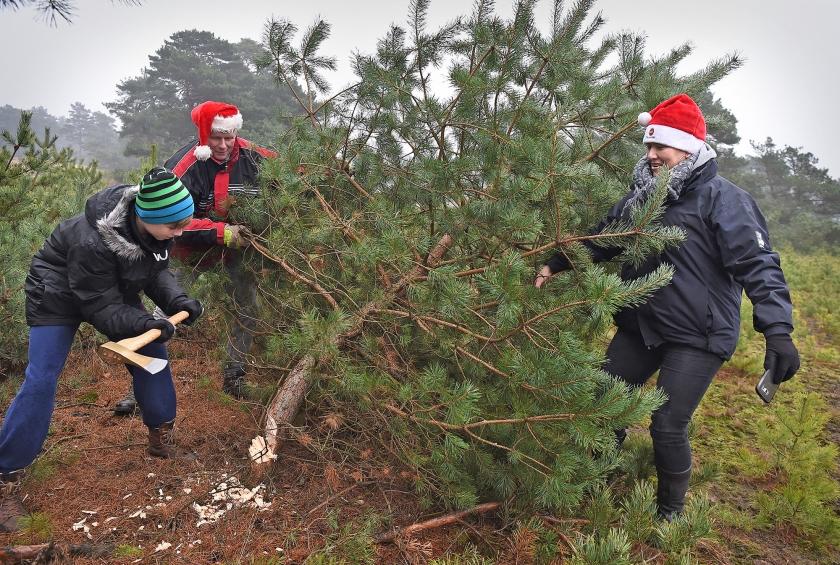 Kerstbomenzaagdag op de Hoge Veluwe. Mensen uit het hele land mogen dennen meenemen.  (Marcel van den Bergh)