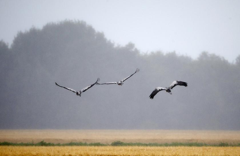 Kraanvogels waren in de Verenigde Staten nagenoeg uitgestorven.  (anp)