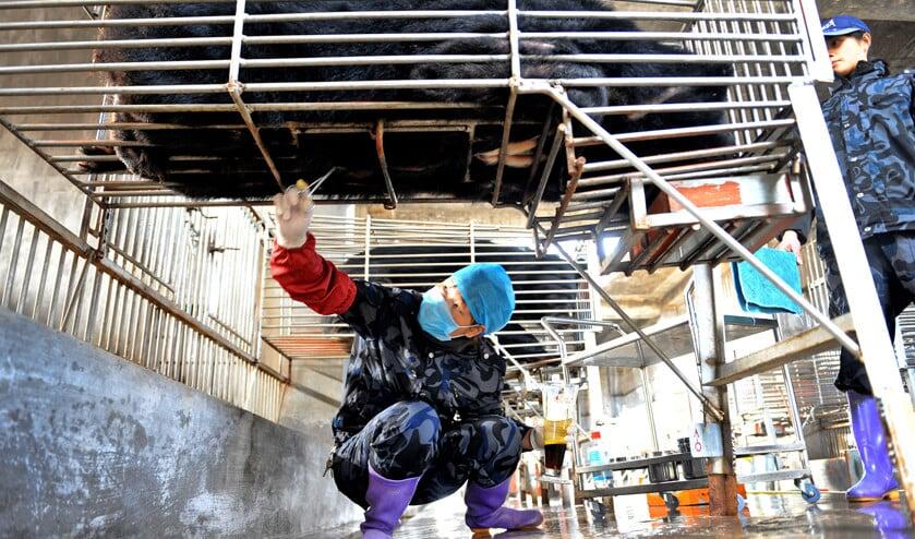 Een medewerker van een Chinese 'berenboerderij' in Hui'an in het zuidoosten van China oogst berengal bij een zwarte beer. De beren worden vaak onder slechte omstandigheden gehouden. Hun gal zou goed zijn tegen allerlei kwalen.  (afp)