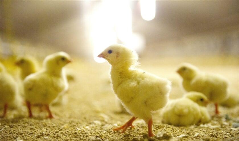 Eendagskuikens scharrelen rond in hun stal. Na ruim zes weken zijn de kippen klaar voor de slacht. Van de bijna 500 miljoen vleeskuikens die per jaar in Nederland worden uitgebroed, is een groot deel bestemd voor de export.  (anp / Marcel van Hoorn)