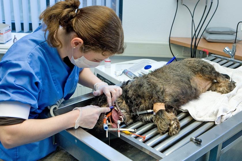 Gebitsoperatie van een hond. De kosten van een gecompliceerde ingreep kunnen oplopen tot vele duizenden euro's.  (anp / Koen Suyk)