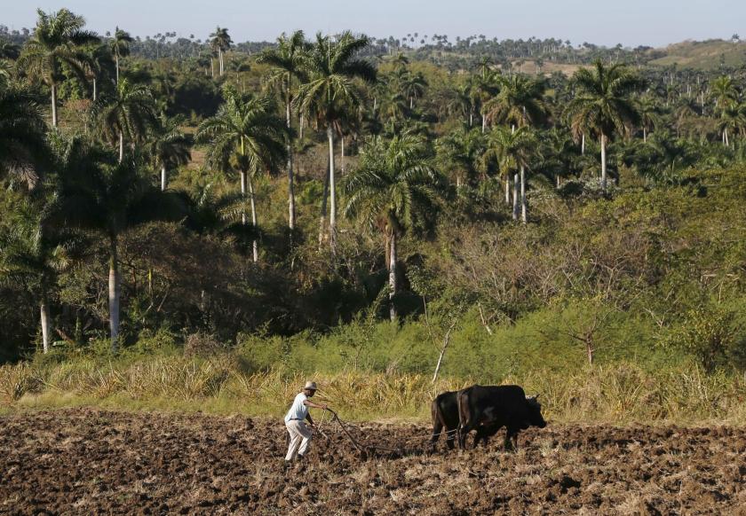 Boer Antonio Rodriguez (60) gebruikt nog ossen om net buiten Havana de akker te ploegen, die hij van de Cubaanse regering mag gebruiken om voedsel te verbouwen.  (ap / Desmond Boylan)