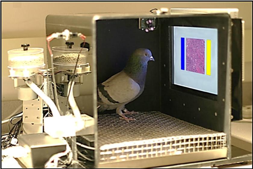 De situatie waarin duiven worden getraind en getest. Er is een voedseldispenser aanwezig, evenals een aanraakschermpje met in beeld borstweefsel en twee 'knoppen' waaruit de duif kan kiezen: de blauwe en de gele.  (René Fransen Levenson)