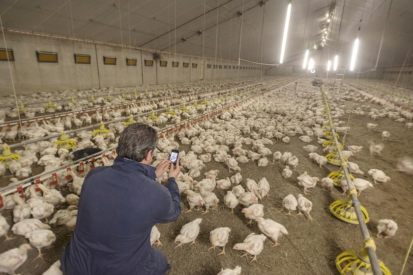 Een controleur maakt bij een pluimveebedrijf in Gemert foto's van de uitwerpselen van tienduizenden kuikens.  (hollandse hoogte / Bart Eijgenhuijsen)