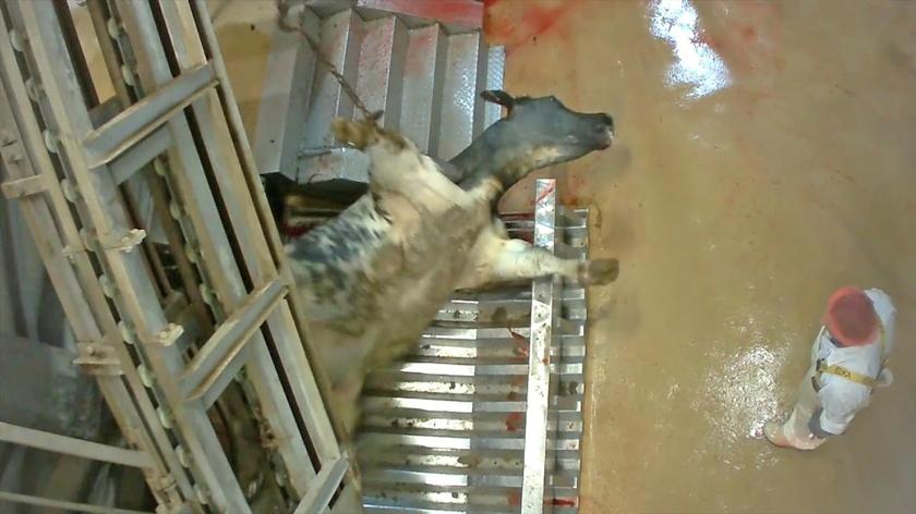 Een beeld uit het filmpje dat dierenorganisatie Animal Rights met een verborgen camera maakte in de Vlaamse slachterij Verbist, waar stieren werden mishandeld.  (Animal Rights)