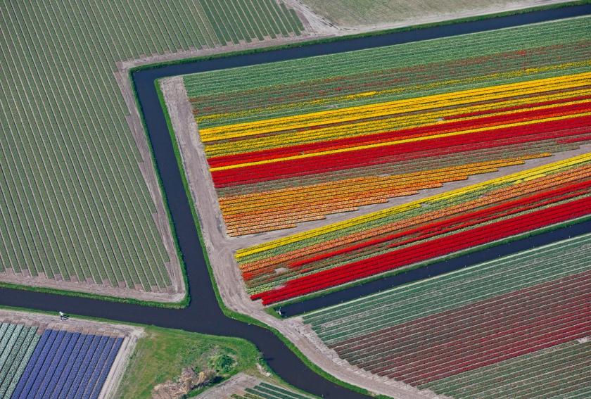 Tulpen op het land.  (beeld)