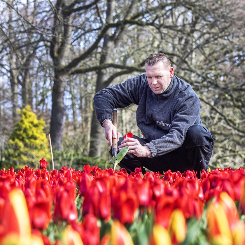 Het checken van de tulpen op kwaliteit en ziektes.   (Raymond Rutting)
