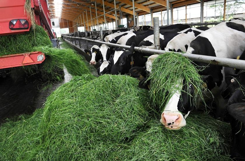 Melkvee in Deersum krijgt vers gras.  (Marcel van den Bergh)