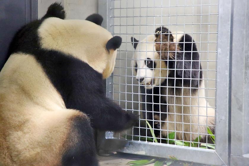 Reuzenpanda's Xing Ya en Wu Wen hebben neus-aan-neuscontact door een hek in Ouwehands Dierenpark. Deze lente ontmoeten ze elkaar 'echt'.  (ouwehands dierenpark)