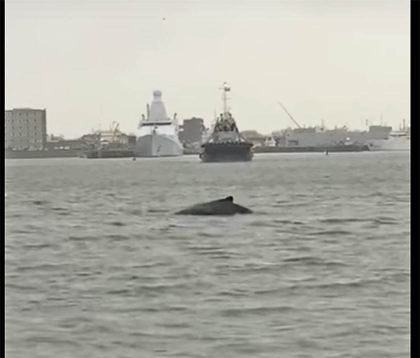 In een filmpje op Youtube van SOS Dolfijn is te zien hoe de jonge bultrug langs de marineschepen in Den Helder zwemt.